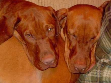 Two vizslas cuddling