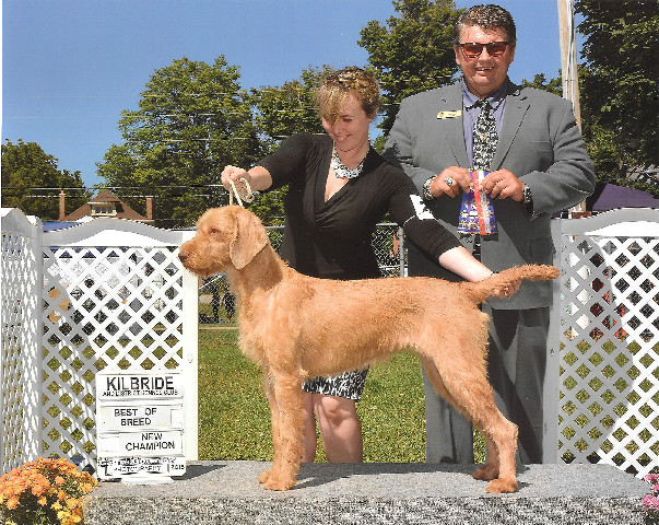 wirehaired Vizsla show dog