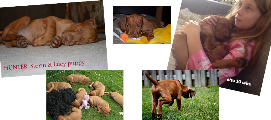 Cute Vizsla puppies