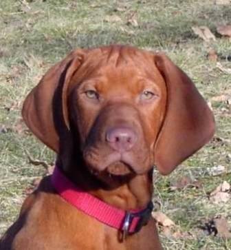 vizsla dog full face view