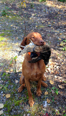 Small game hunting with Vizsla