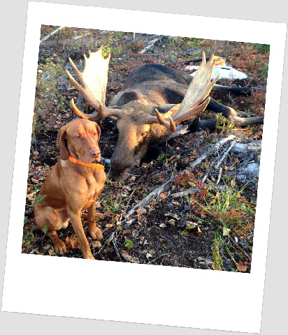 vizsla-hunter-moose2