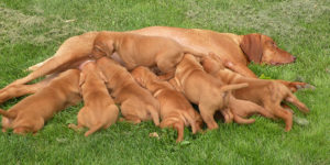 Vizsla breeding dog with litter