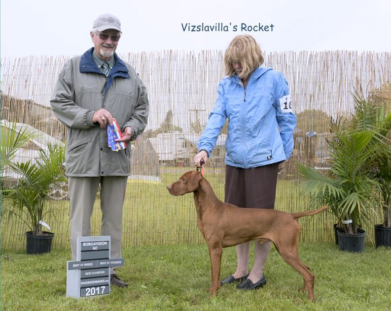 Win for Rocket in Vizsla field training