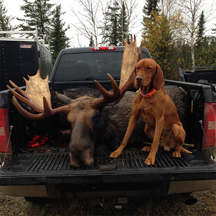 Vizsla moose hunting